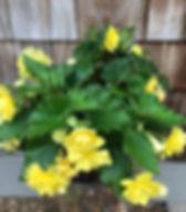 Begonia Joy.jpg