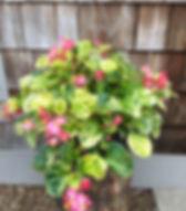 Begonia Charm.jpg