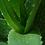 Thumbnail: AJC40 | Aloe Vera Juice Concentrate