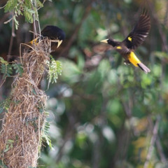 Cacique flying by nest