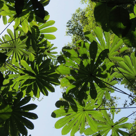 Cecropia leaves in the canopy