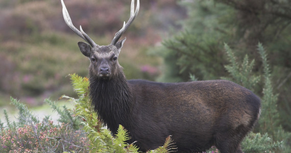 Dybowski Sika Deer