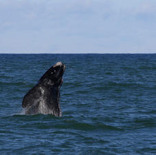 Whale watching Gansbaai and De Kelders provide some of the best land based whale watching (in season) but if you'd like to get a closer look we can arrange a whale watching trip for you.