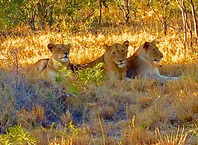 Lions - big game.jpg