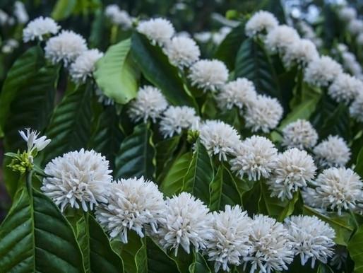 La fioritura del caffè