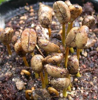 Ciclo di vita della pianta di caffè