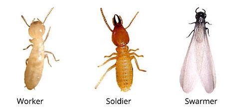 subterranean-termite.jpg