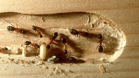 carpenter ants inside wood.jpg