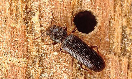 Powderpost-Beetle-500x300.jpg