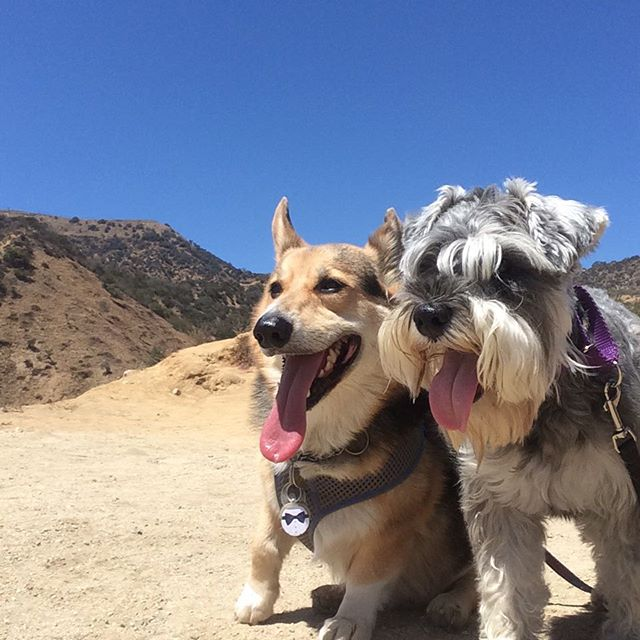 Hildy and Ziggy__#minischnauzer #corgi #buds