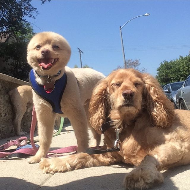 Amelia and Kevin__#cockerspaniel #yodogwalker #losfeliz #losangeles #la #instadogs #dog #echopark #a