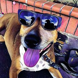 Yes, _robshore w the skills and #pitbull Elizabeth__#yodogwalker #losfeliz #losangeles #la #instadog