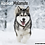 Thumbnail: 2021 Alaskan Malamute Calendar