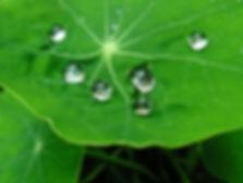nilufer yapragi etkisi.jpg