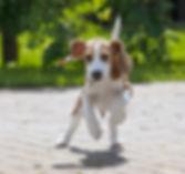 beagle-3877121_1280.jpg