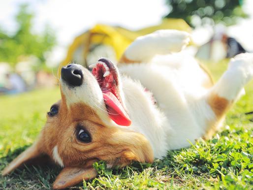 Darum wälzen sich Hunde gerne im Dreck