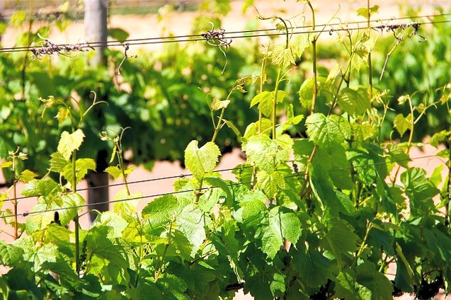 vineyard-1219175_640_edited.jpg