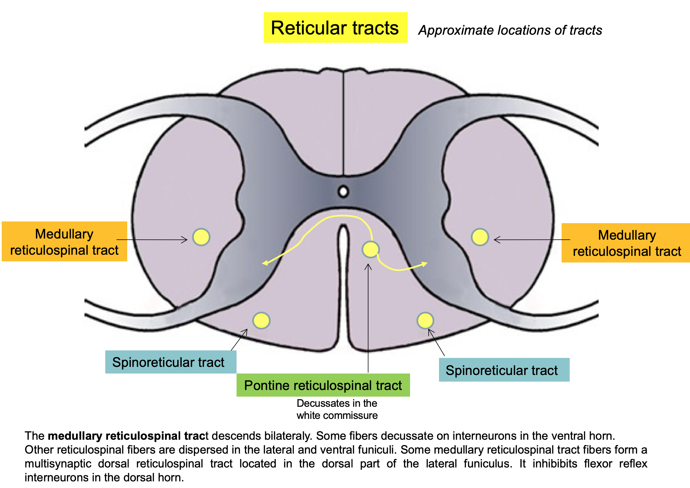 Reticular tracts 1