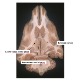 Thalamic nuclei sections 4