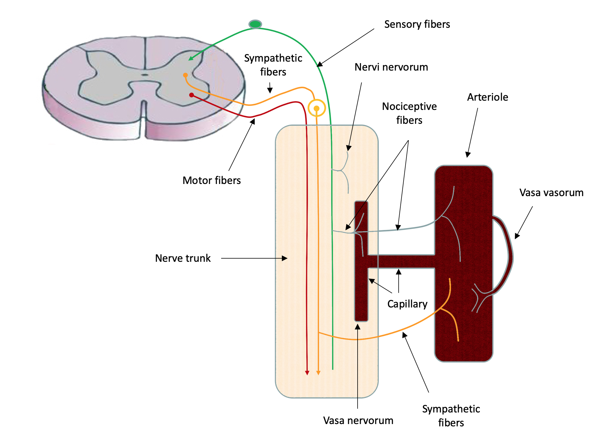 Noceptive from blood vessels and nerves.