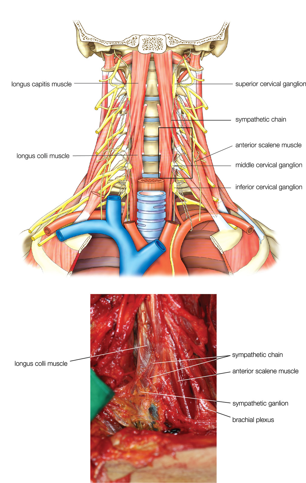 Learn Pain Cervical Sympathetic Anatomy