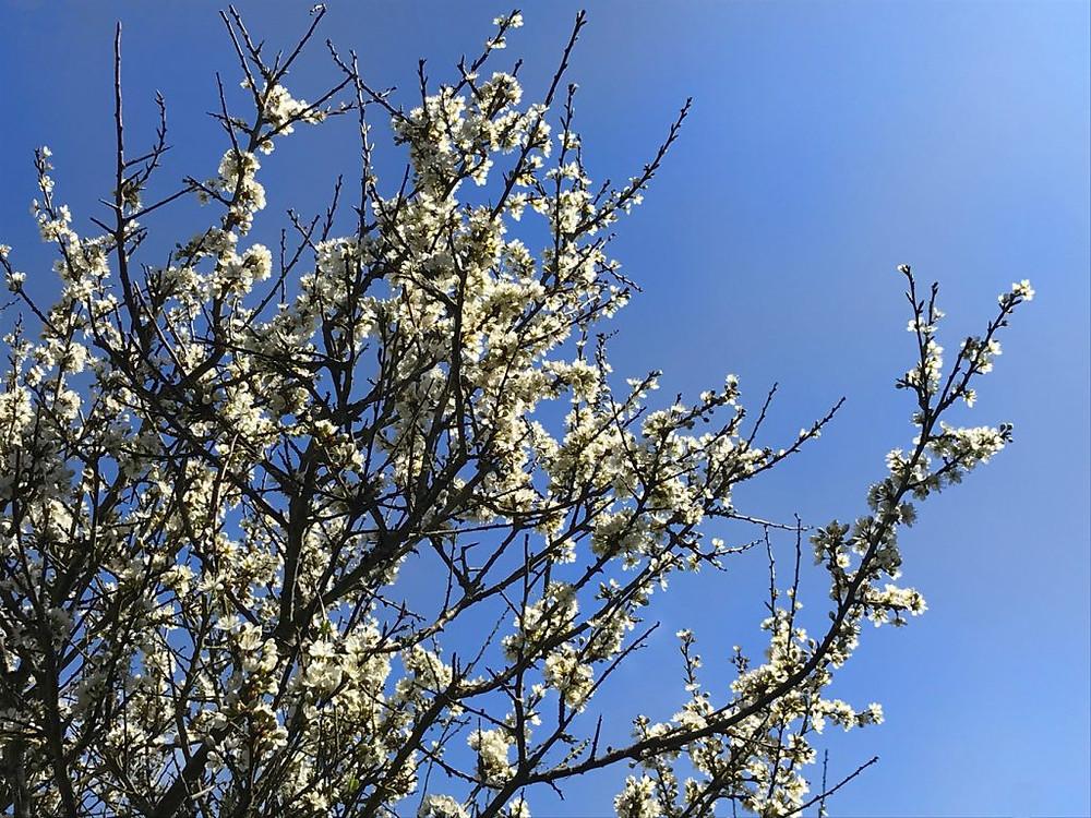 Circular-Walk from Porthcurno Beach Cafe, Porthcurno, Cornwall, UK. Hawthorn (May Tree/Mayflower) Blossom