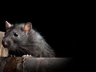 pest-rat.jpg