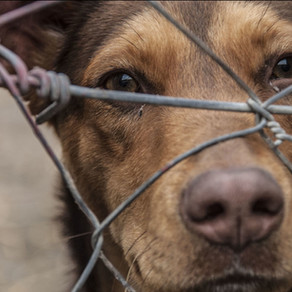 When Emotions Trump the Rule of Law: Animal Cruelty a Federal Felony