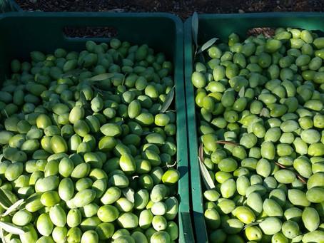 Άμεση προτεραιότητα η εξόφληση των οφειλομένων σε παραγωγούς ελιάς Χαλκιδικής, από την ΕΑΣ Λάρισας.