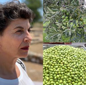 Οι αγρότες της Χαλκιδικής αγωνιούν για την εξεύρεση εργατών γης για τη συγκομιδή της ελιάς.