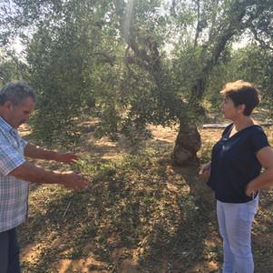Απαιτούνται άμεσα μέτρα για την στήριξη της συγκομιδής της ελιάς στη Χαλκιδική.