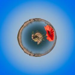 Sardegna papavero tondo