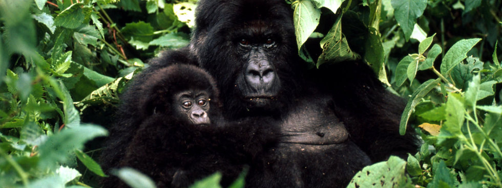 Mountain_Gorilla_8.10.2012_New_Hero_Imag