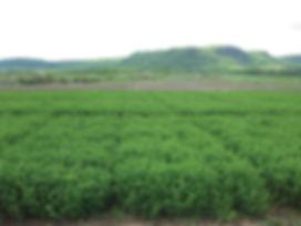 alfalfa plots.jpg