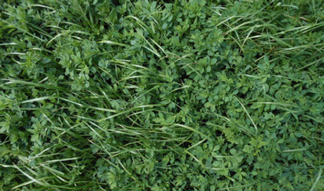 alfalfa-grass-mixture-drupal-ws.jpg