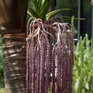 King Palm inflorescences