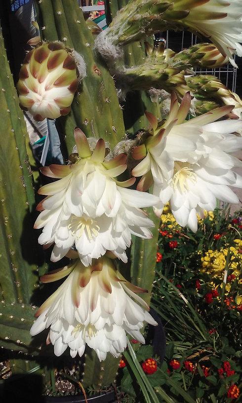 Cereus flowers.jpg