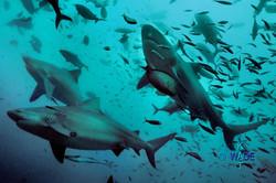 WARNING SHARKS 04