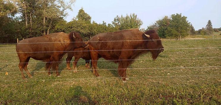 bison 1.jpg