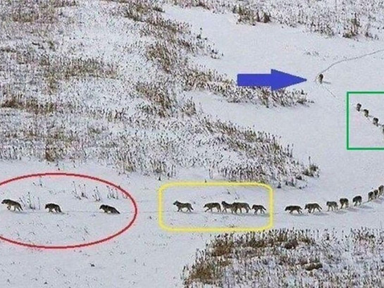 Great Leadership and Team Building Skills the Pack of Wolves can Teach You