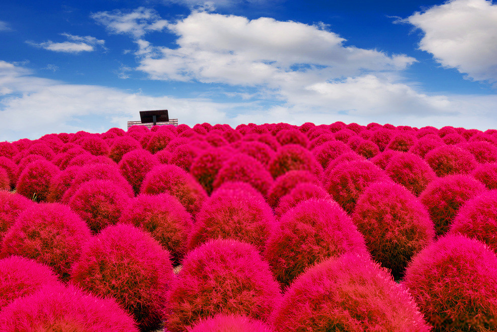 Hitachi Seaside Park- Mesmerizing Floral Fantasy in Japan for all the Nature Lover