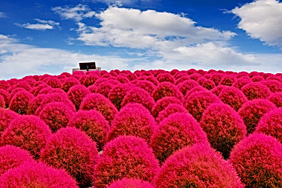 Hitachi Seaside Park: Mesmerizing Floral Fantasy in Japan for All the Nature Lover