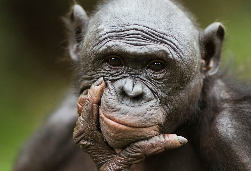 Why do Chimpanzees Throw Rocks at Trees? Is there any Psychology Behind It?