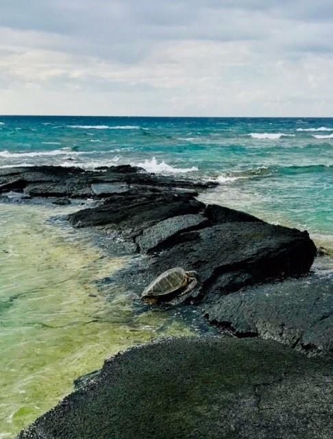 Hawaiian Green Sea Turtle sunbathing on the Puako shore