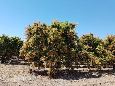 Diazteca mango orchards