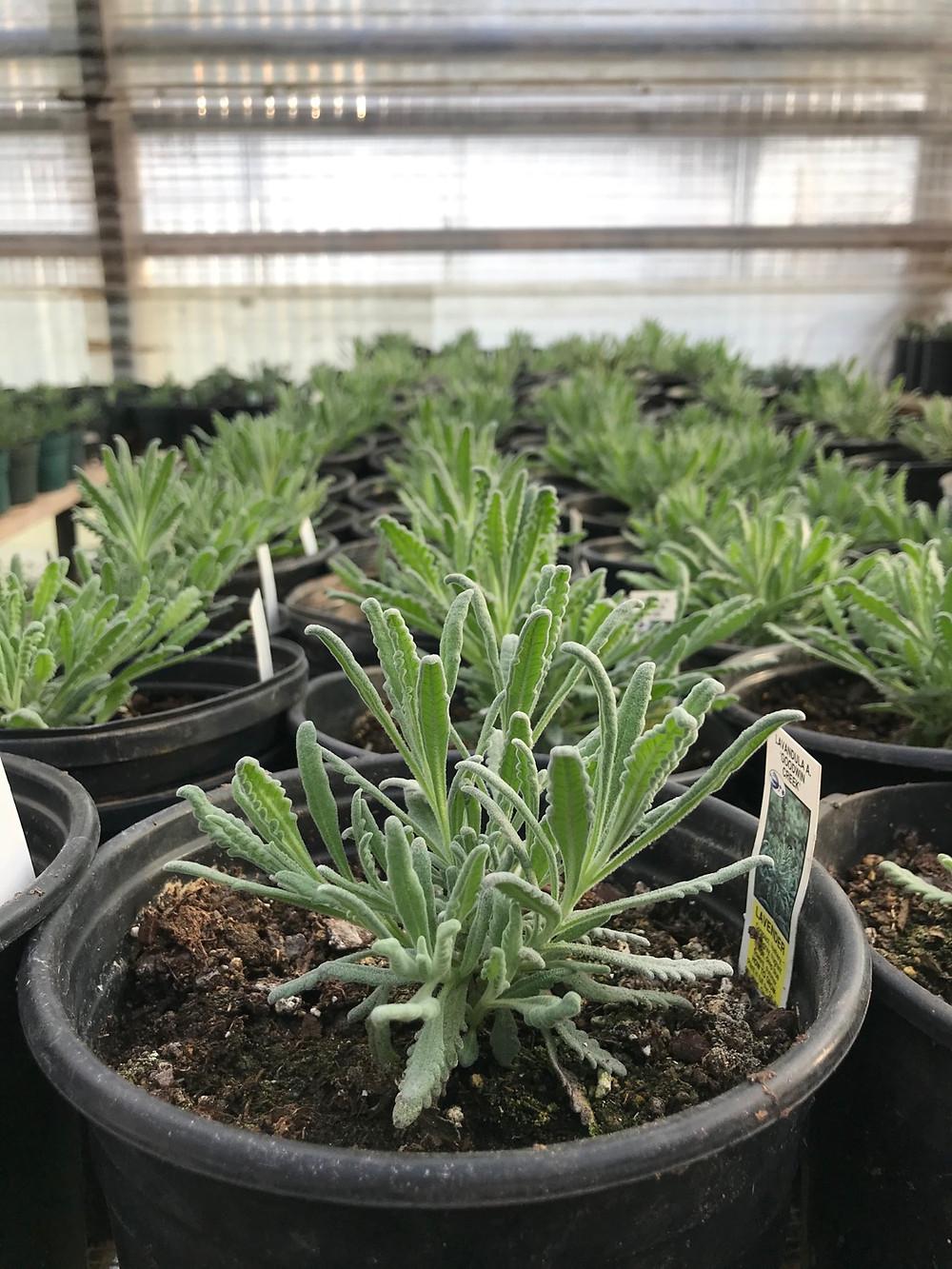 Goodwin Creek lavender.  Does great in pots!