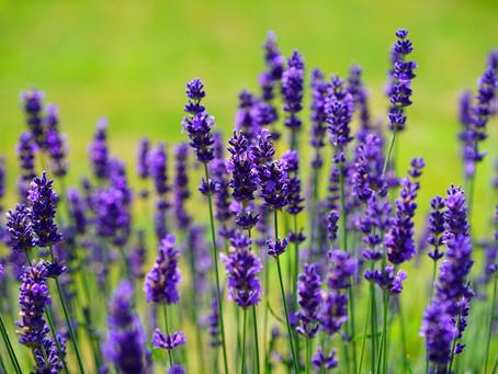 12th Annual Lavender Valley Festival