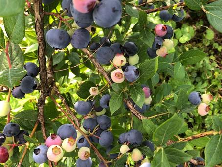 ブルーベリー菜園の豊作