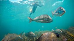 Goat-Island-scuba-dive-snorkel-trips-Leigh-Aukland-16
