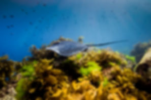 Sting Ray Goat Island